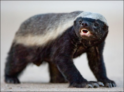 Honey Badgers, Anxiety, and the future of the church