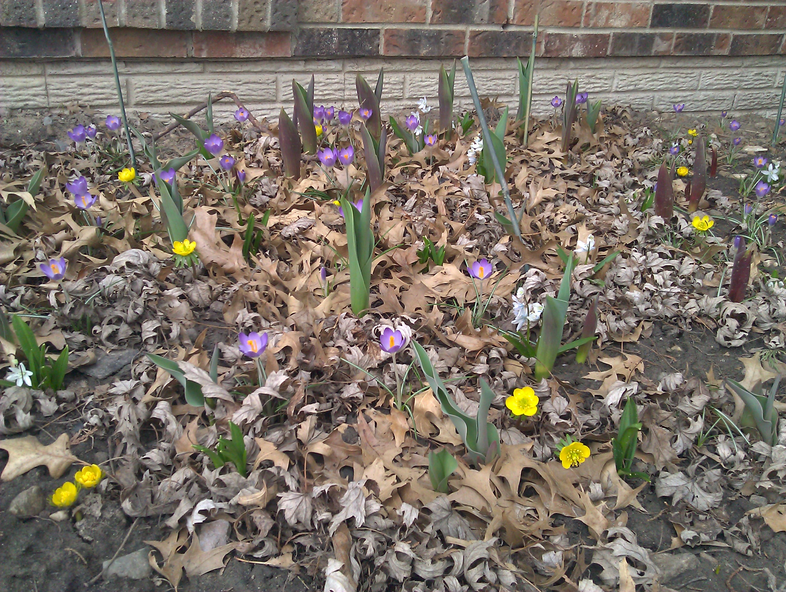 Longing for Crocus…