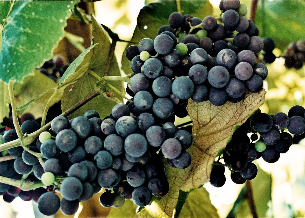 The Sweetest Grapes are Closest to the Vine